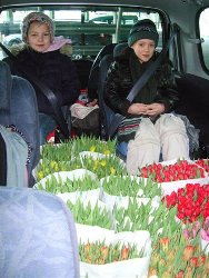 tulpen-auto-250
